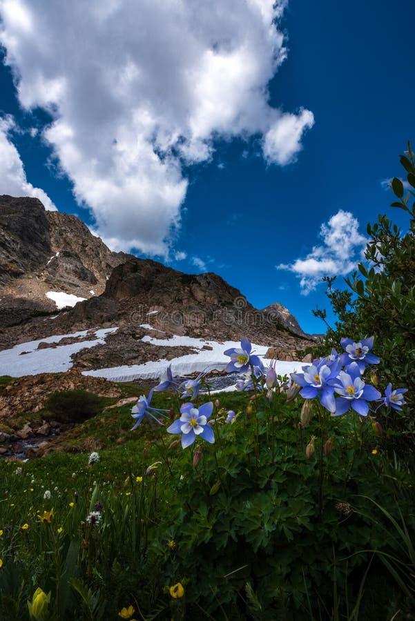 Błękitnej kolombiny kwiatów Aquilegia caerulea Mt opłaty drogowa ślad Kolorado obrazy royalty free
