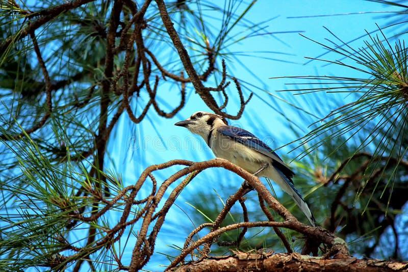Błękitnej sójki Cyanocitta cristata umieszczał w drzewie obrazy stock