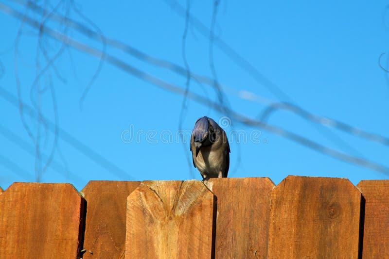 Błękitnej sójki ptak na płotowy patrzeć w dół zdjęcie royalty free