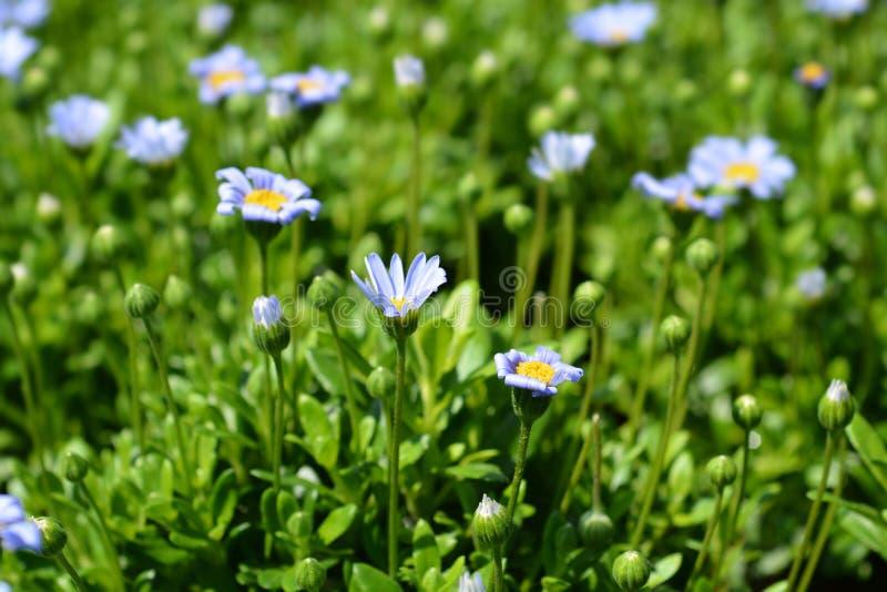 Błękitnej stokrotki Felicitara błękit fotografia royalty free