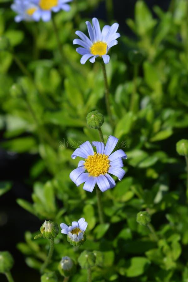 Błękitnej stokrotki Felicitara błękit fotografia stock