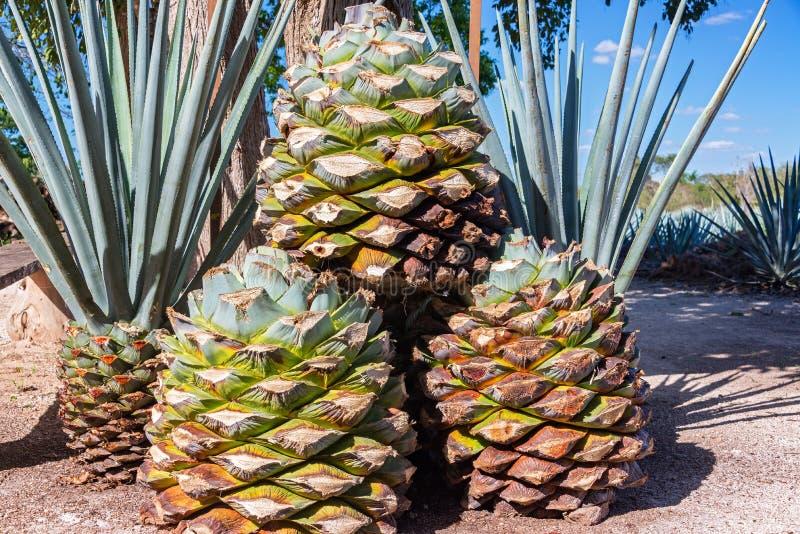 Błękitni agawa ananasy obrazy royalty free