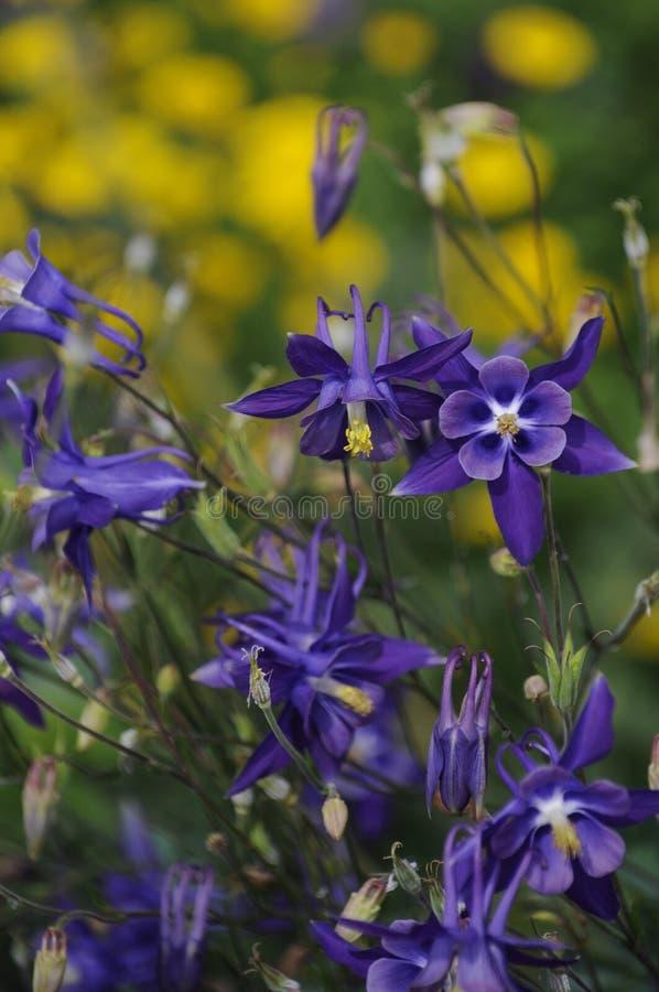 Błękitni Aquilegia kwiaty zdjęcia royalty free