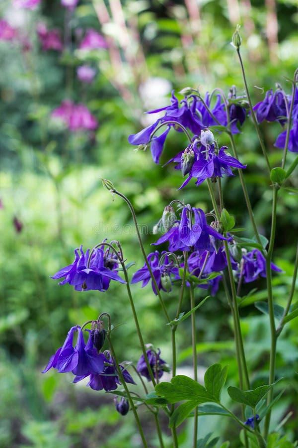 Błękitni Aquilegia vulgaris kwiaty w chałupa ogródzie obraz royalty free