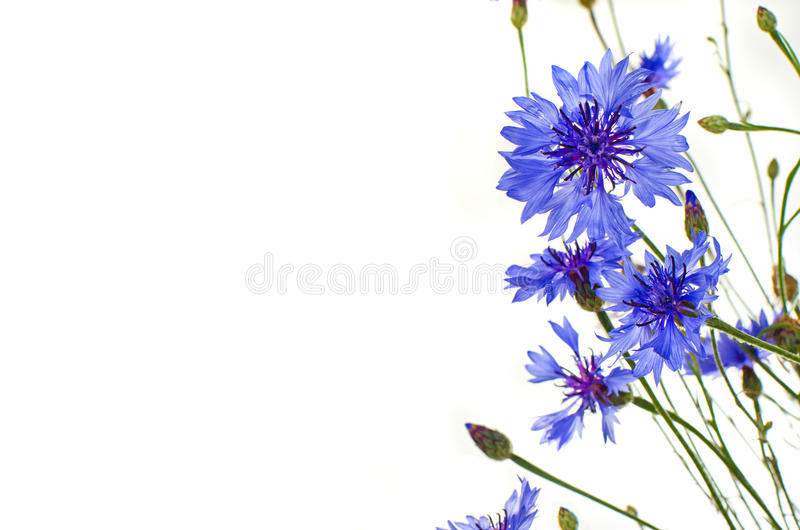 Błękitni cornflowers odizolowywający zdjęcie stock