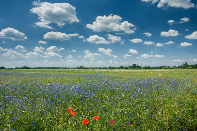 Błękitni cornflowers r w zielonym polu rapeseed, horyzontu i bielu chmury na niebie, obrazy royalty free
