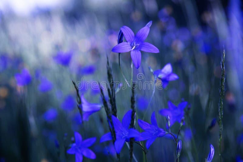 Błękitni dzwonkowi kwiaty pole obrazy stock