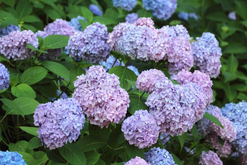 Błękitni hortensia kwiaty obraz stock