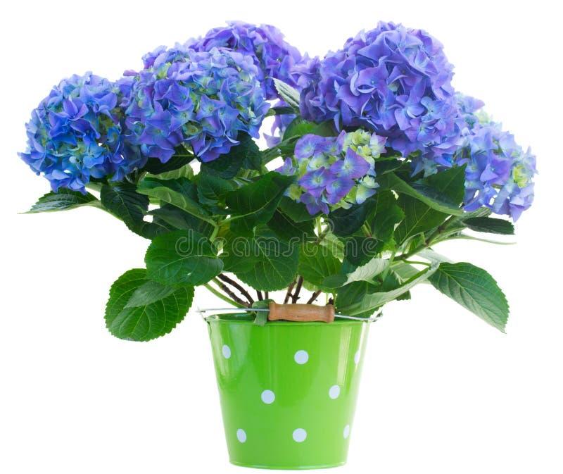 Błękitni hortensia kwiaty obrazy royalty free