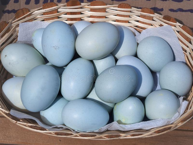 Błękitni jajka w koszu błękitni barwioni jajka od szczególnie r kurczaków obrazy stock