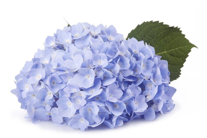 Błękitni kwiaty zdjęcia royalty free