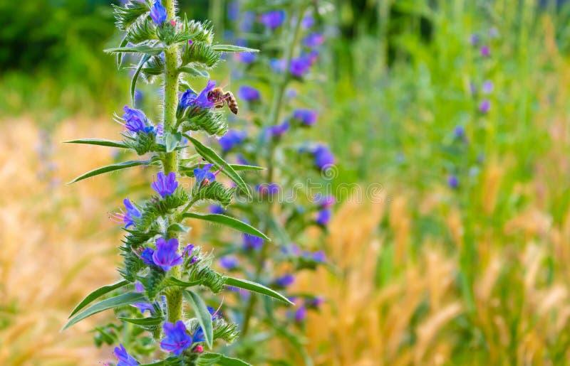 Błękitni kwiaty płucnik i pszczoła fotografia royalty free