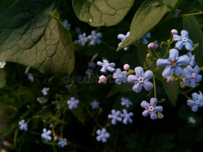 Błękitni mali kwiaty fotografia royalty free