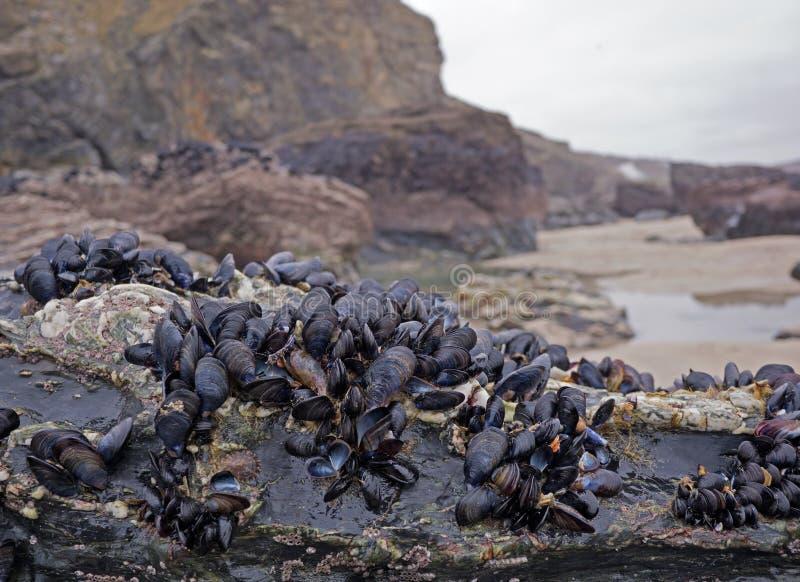 Błękitni mussels na Cornwall plaży zdjęcia royalty free