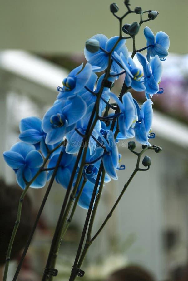 Błękitni orquids w Keukenhof, Holandia fotografia royalty free