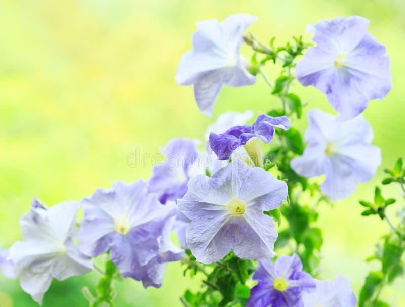 Błękitni petunia kwiaty obraz royalty free