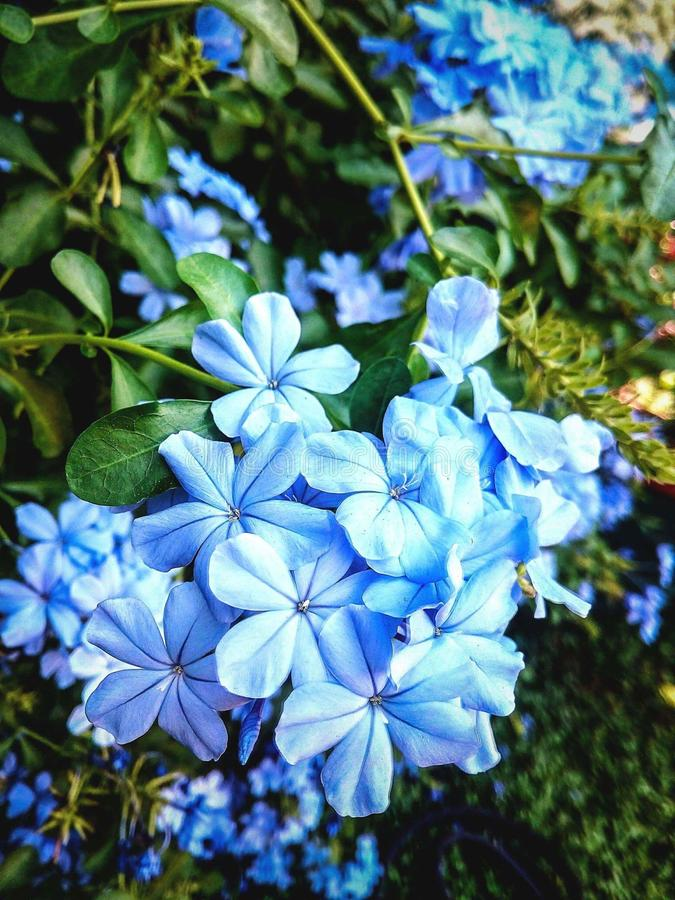 Błękitni plumbago kwiaty fotografia royalty free