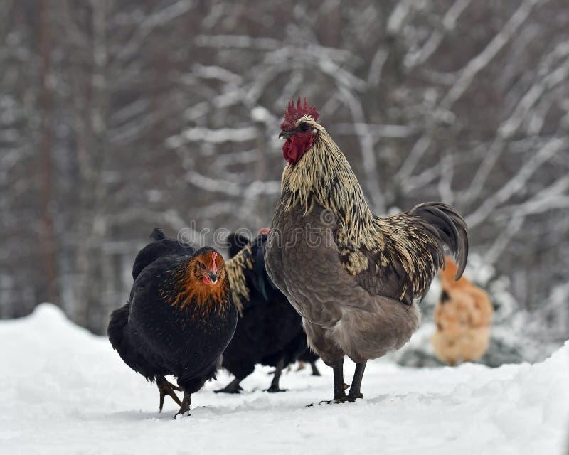 Błękitni rozczesani kurczaki stary odporny traken Hedemora od Szwecja na śniegu w mroźnym krajobrazie i kogut fotografia royalty free