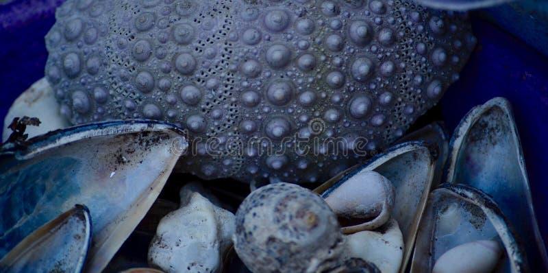 Błękitni seashells i denny czesak obrazy stock