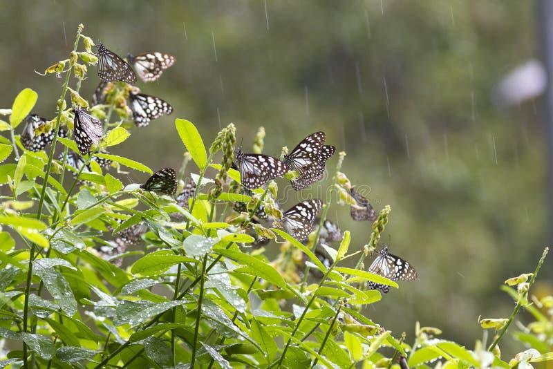 Błękitni tygrysi motyle w Anuradhapura Mihinthale Sri Lanka zdjęcia royalty free