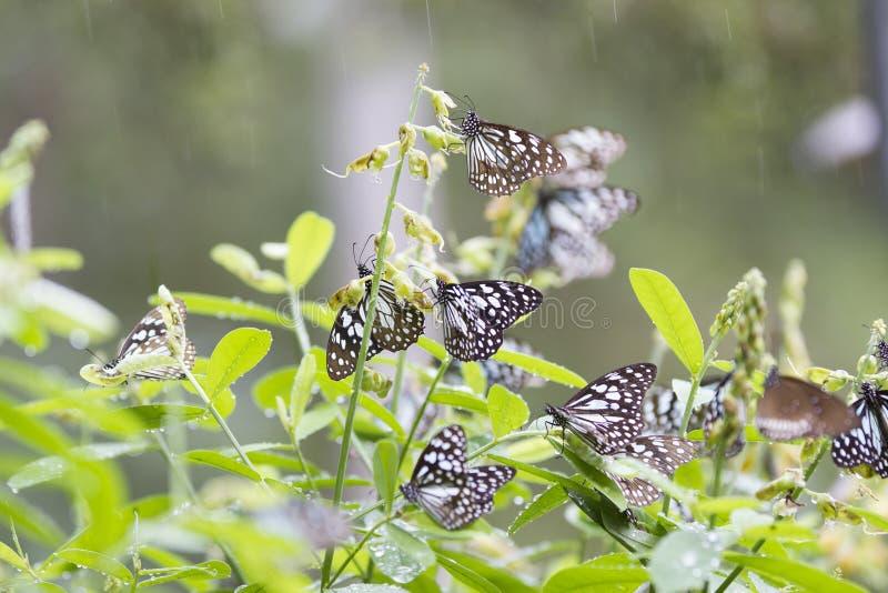 Błękitni tygrysi motyle w Anuradhapura Mihinthale Sri Lanka pod drizling pogodą zdjęcia stock
