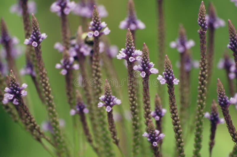 Błękitni Vervain kwiaty zdjęcia stock