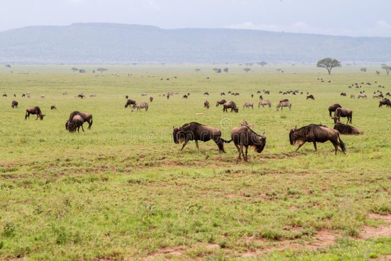 Błękitni wildebeests biega i bawić się w Serengeti krajobrazie zdjęcie royalty free
