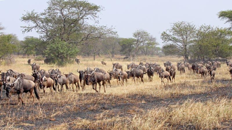 Błękitni wildebeests podczas Wielkiej migraci zdjęcia royalty free