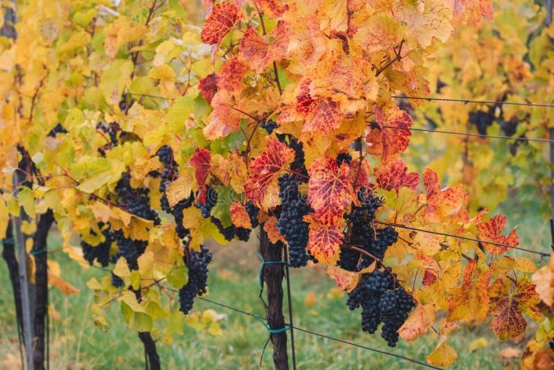 Błękitni winogrona w winnicy blisko Palava, Południowy Moravia, Czeski ryps obrazy stock