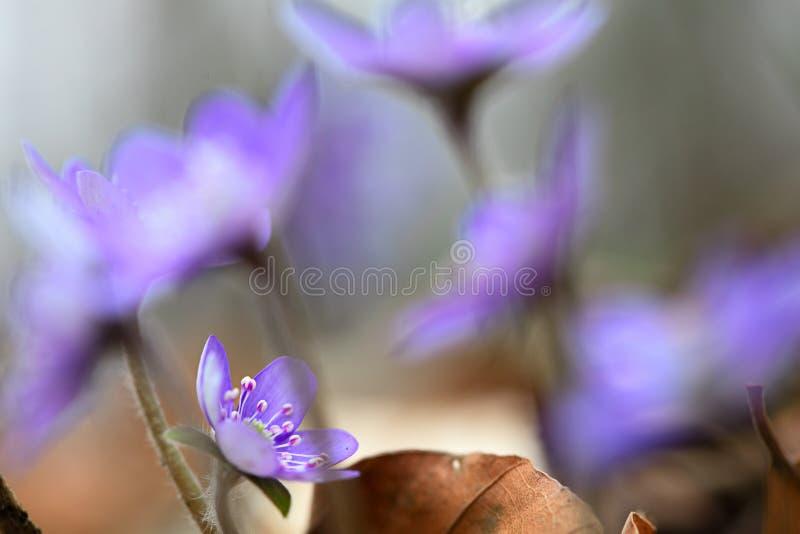 Błękitni wiosny wildflower porostnicy lub liverleaf Hepatica nobilis fotografia royalty free