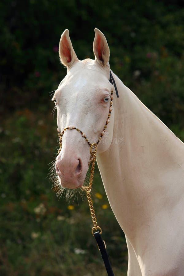 Błękitnooki Cremello akhal-teke koń fotografia royalty free
