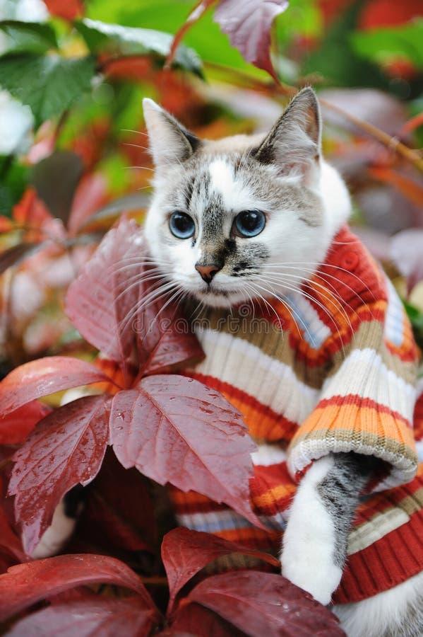 Błękitnooki kot w pasiastym pulowerze w jesień parku na tle pstrobarwny ulistnienie Modny ubierający Śliczny portret obrazy stock