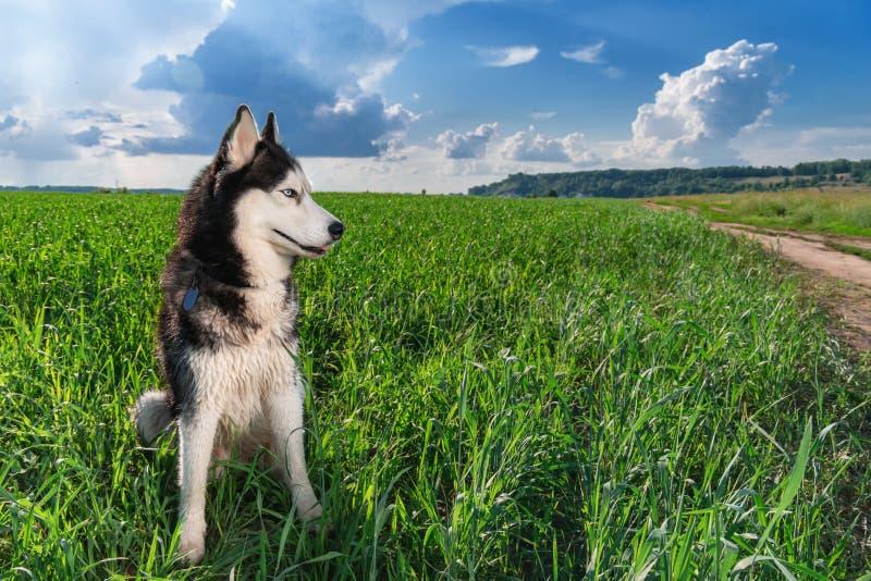 Błękitnooki Syberyjskiego husky koloru czarny i biały obsiadanie na jaskrawym - zielony pole Portreta husky pies patrzeje strona  fotografia royalty free