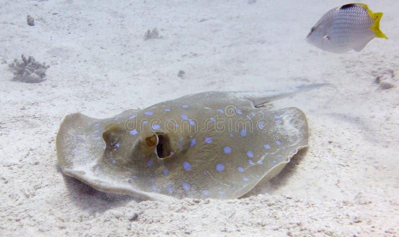 Błękitny Łaciasty Ray zdjęcia stock