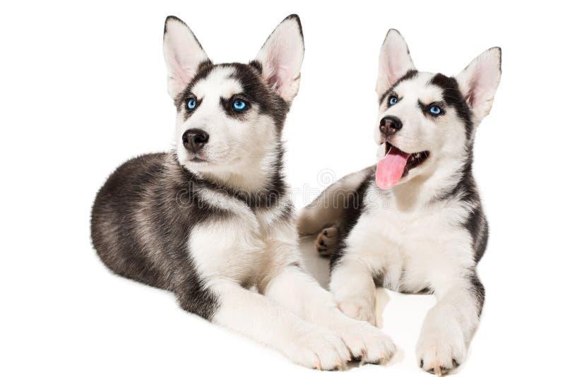 błękitny śliczny pies przygląda się husky odizolowywającego małego szczeniaka siberian dwa zdjęcie royalty free
