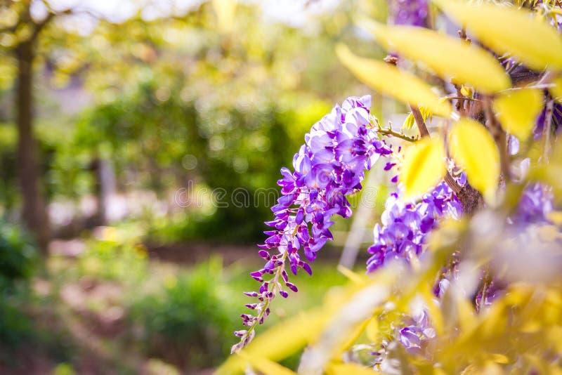 Błękitny żałości okwitnięcie na zieleni zamazywał ogrodowego tło Chiński Fabaceae żałości sinensis kwiat obrazy royalty free