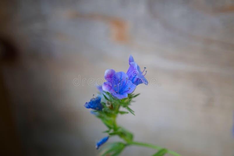 Błękitny żmii s farbownik - Echium vulgare- kwiatostan Drewniany t?o zdjęcie royalty free