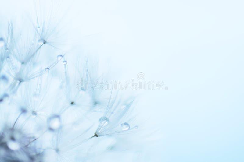 Błękitny abstrakcjonistyczny kwiecisty tło, zbliżenie dandelion kwitnie obraz royalty free