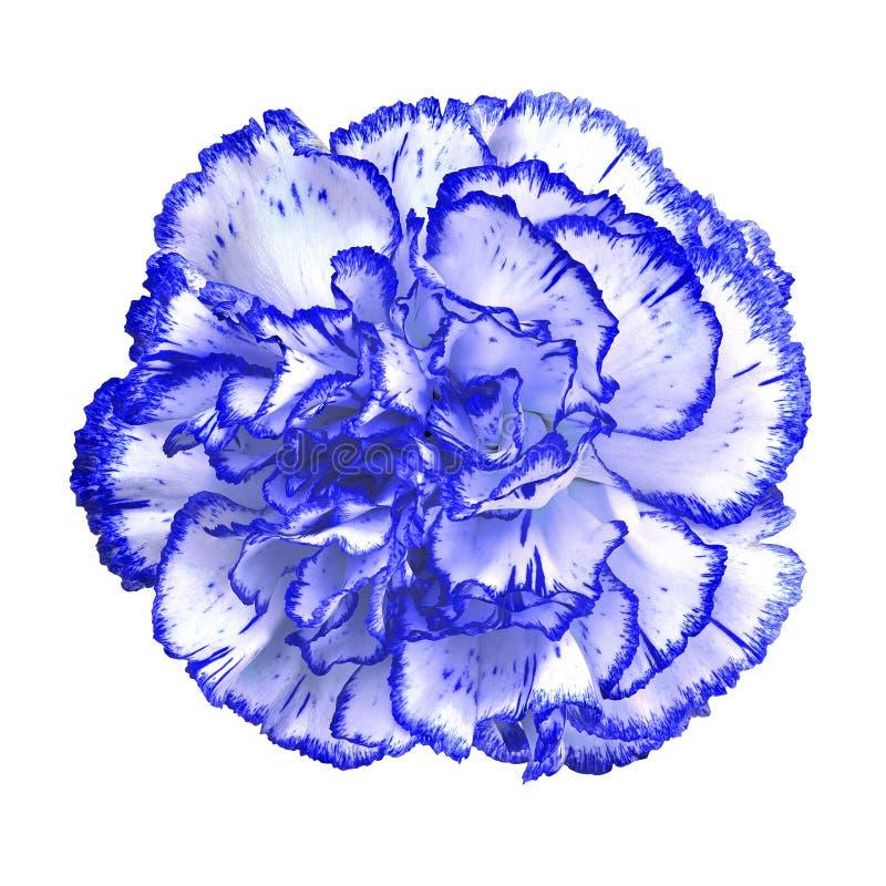 Błękitny biały goździka kwiat odizolowywający na białym tle Zakończenie bell świątecznej element projektu fotografia stock