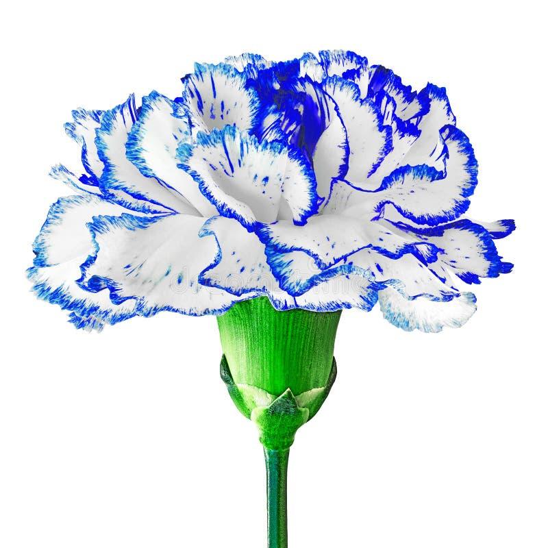 Błękitny biały goździka kwiat odizolowywający na białym tle Zakończenie Kwiatu pączek na zielonym trzonie obrazy stock