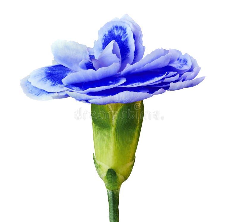 Błękitny biały goździka kwiat odizolowywający na białym tle Zakończenie Kwiatu pączek na zielonym trzonie zdjęcia stock