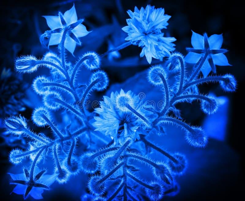 Błękitny Borage i chabrowi kwiaty zdjęcia stock