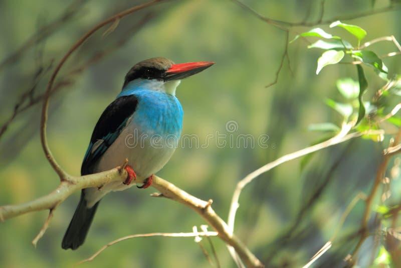 błękitny breasted zimorodek zdjęcia stock
