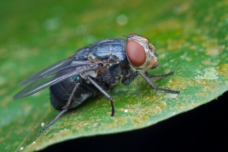 błękitny butelki komarnicy profil obrazy royalty free