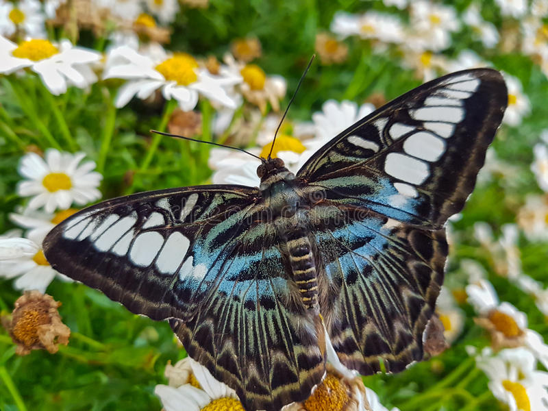 Błękitny cążki motyl Na Białej stokrotce Kwitnie zbliżenie zdjęcie stock