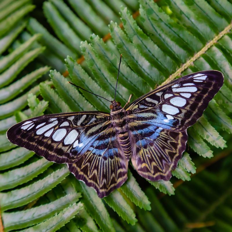 Błękitny cążki motyl na zielonej paproci zdjęcie stock