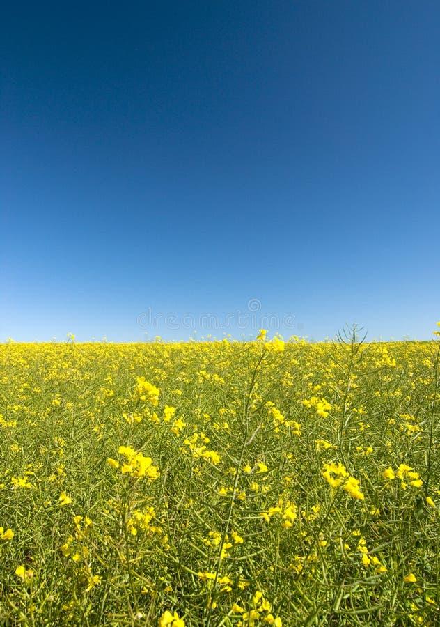 błękitny canola kwitnie niebo obraz royalty free