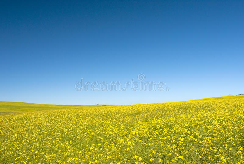 błękitny canola pola niebo obrazy stock