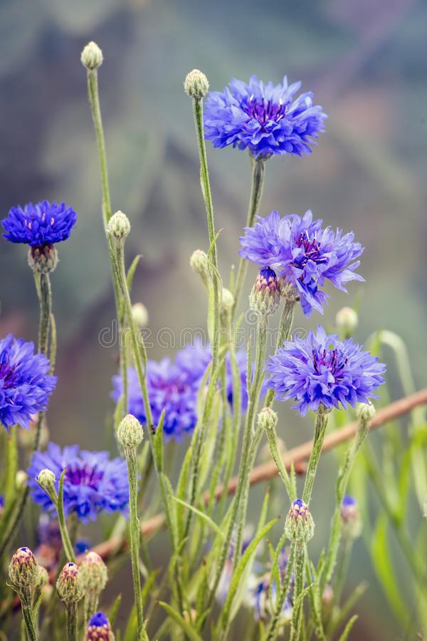Błękitny Centaurea cyanus lub cornflowers zdjęcia stock