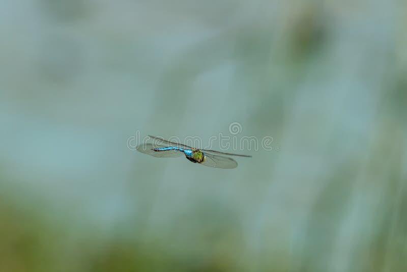 Błękitny cesarza dragonfly w locie zdjęcia royalty free